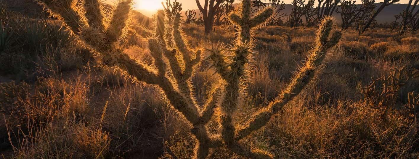 visitar el desierto de mojave arboles de josue