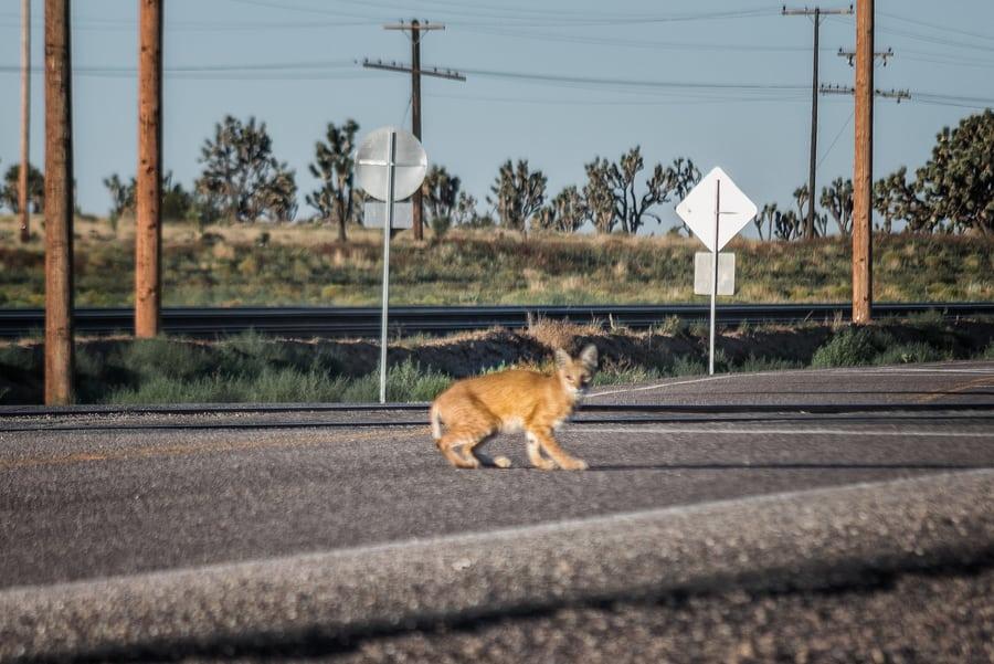 animales en mojave national park