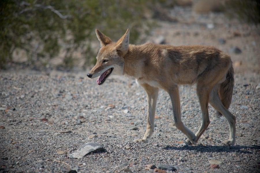 wildlife in death valley coyote