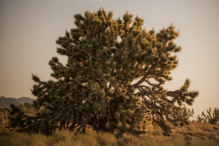 the biggest Joshua tree in Mojave national preserve