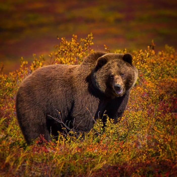 grizzly bear kamchatka photo tour