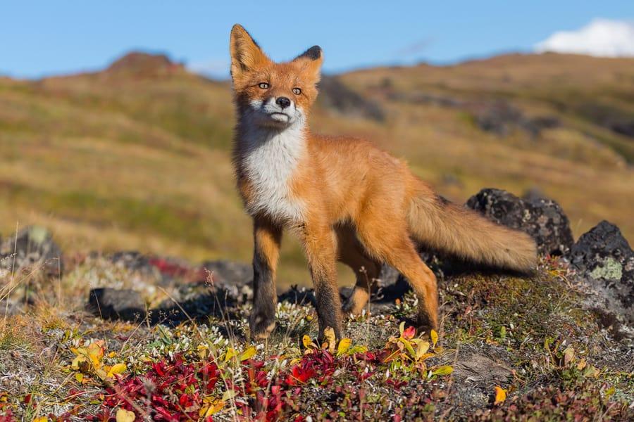 artic fox kamchatka russia wildlife