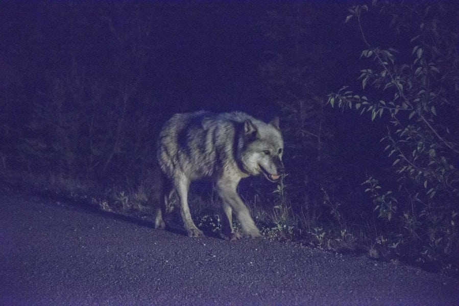 Concepts of noise in photography - wolf shooting during nightime low lights conditions