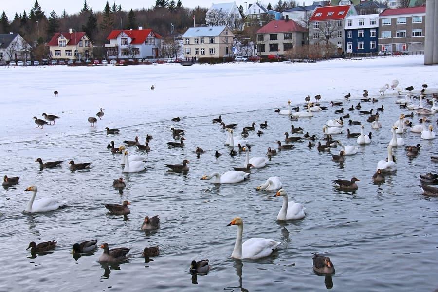 Tjörnin, un lugar donde conocer la fauna de Reikiavik