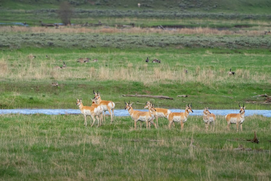 Pronghorn wildlife in yellowstone