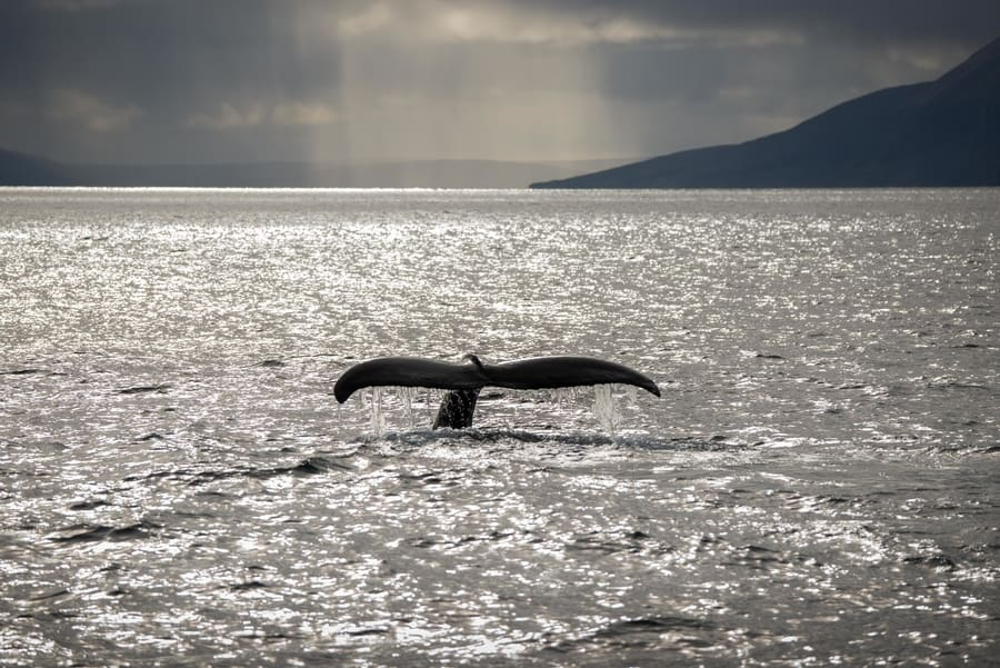 Tour from Akureyri for whale watching