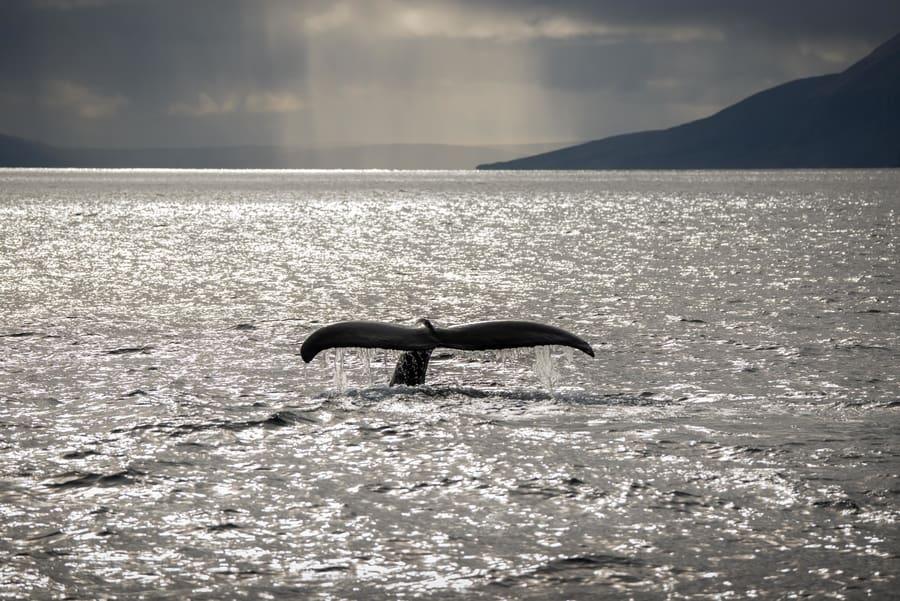 Whale watching Snæfellsnes Peninsula
