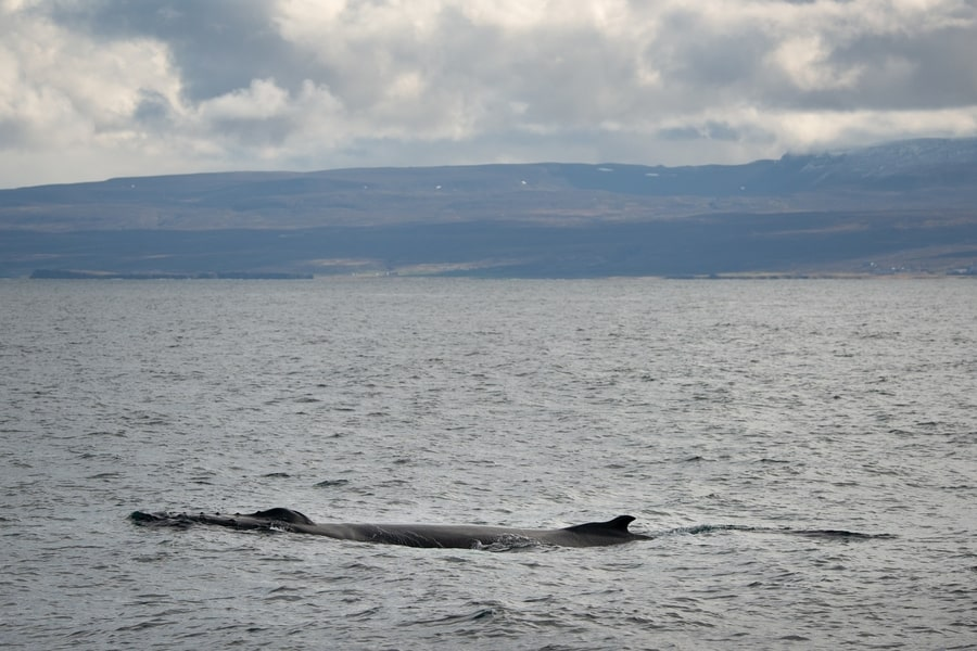 Types of whales in Iceland