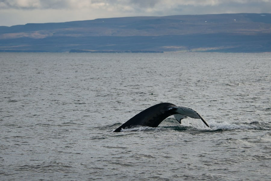 Whale watching Iceland holidays