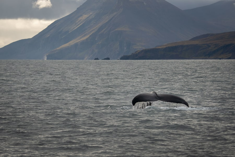 Tours in Reykjavik for whale watching