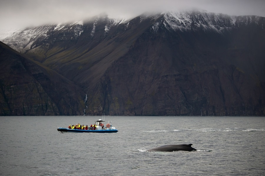 Whale hunting in Iceland is legal