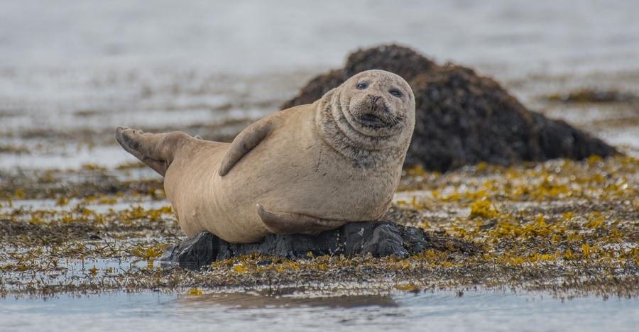 Ytri Tunga, Snaefellsnes seal beach