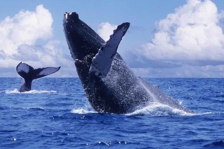 humpback whales in canada
