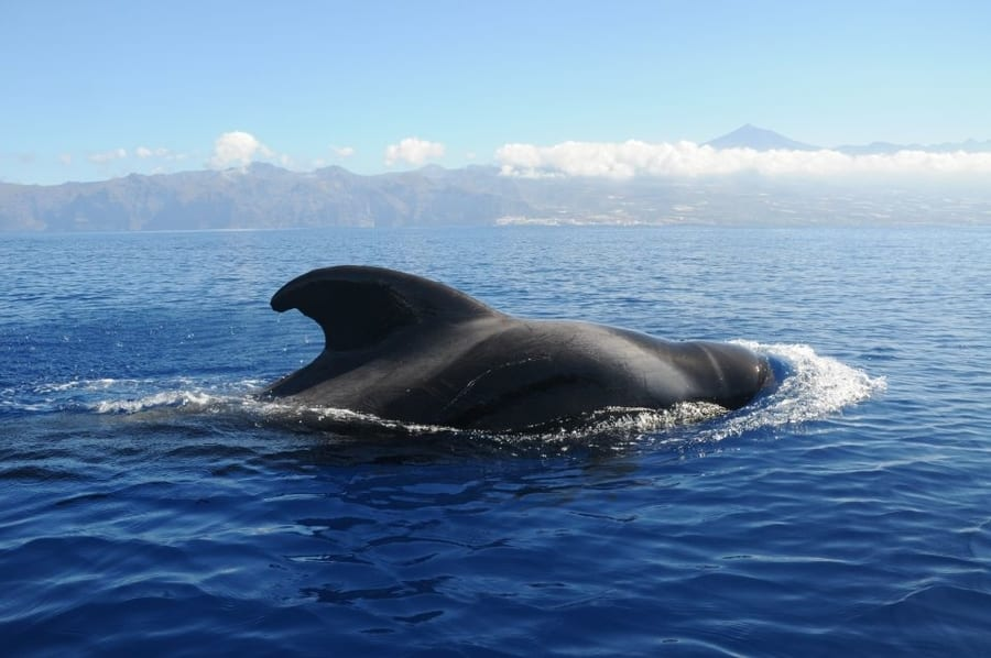 Other whales in Tenerife, best time for whale-watching in Tenerife