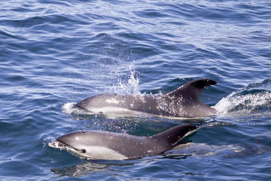 Dolphins in Tenerife, whale-watching season Tenerife