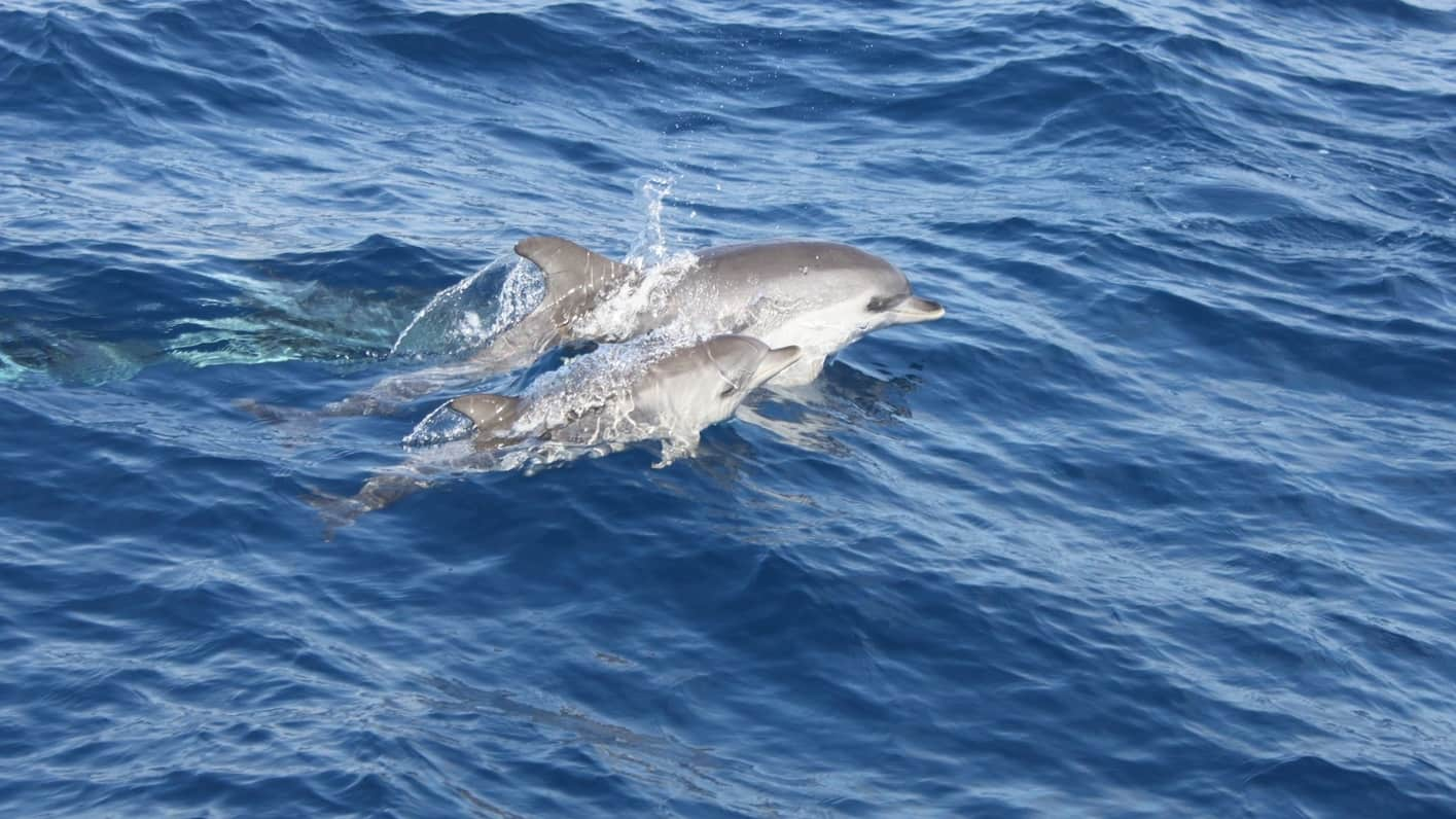 Lanzarote dolphin-watching with snorkel, dolphins around Lanzarote