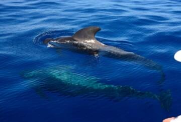 Avistamiento de ballenas en Gran Canaria