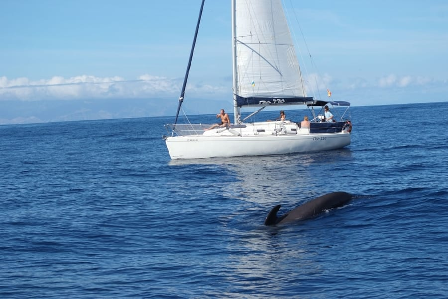 Dolphin and whale watching in Tenerife on a luxury yacht, dolphins Tenerife