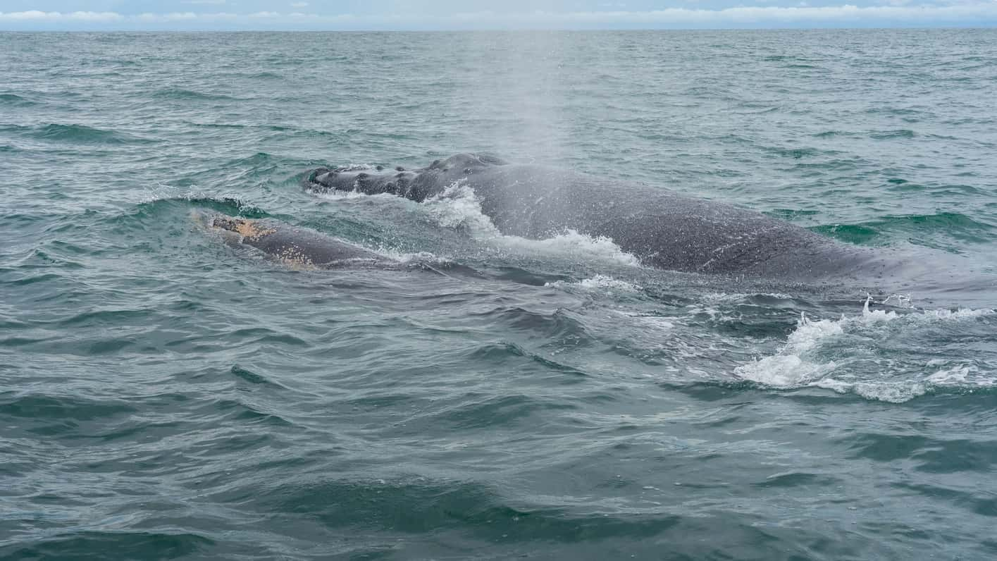 Ver ballenas jorobadas en Costa Rica