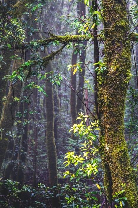 El Pijaral, Anaga forest